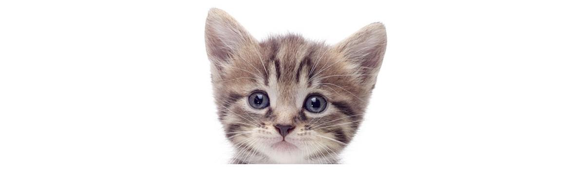 Kitten/Adult